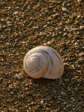 Caracol de mar na praia 3 Foto de Stock Royalty Free