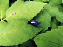 Caracol de néon brilhante minúsculo da lagoa em uma folha imagem de stock royalty free