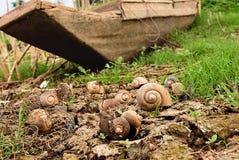 Caracol de Shell en la tierra seca Foto de archivo libre de regalías