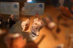 Caracol del cono Foto de archivo libre de regalías