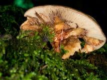 ¡Caracol del queso del obvoluta de Helicodonta aka que disfruta de la cena fungosa! Ha Foto de archivo