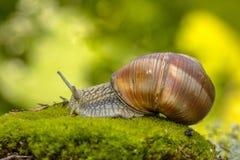 Caracol do escargot imagem de stock