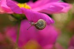 Caracol dulce del bebé en la flor del color de rosa de la belleza Imágenes de archivo libres de regalías