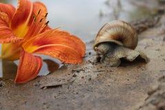Caracol e lírio macio da flor imagem de stock