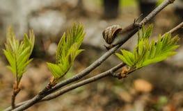 Caracol el verano de la rama de árbol, parque, primer del viñedo que viaja, Foto de archivo libre de regalías