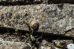 Caracol em um tijolo Fotografia de Stock