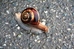 Caracol en el asfalto Caracol brillante marrón de Screeping en tiempo lluvioso Sn Fotografía de archivo