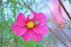 Caracol en flor rosada del cosmos Imagenes de archivo