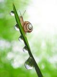 Caracol en hierba cubierta de rocio Fotos de archivo libres de regalías