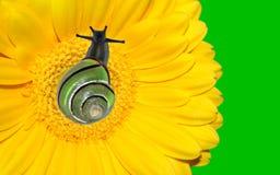 Caracol en la flor amarilla del gerbera Fotos de archivo libres de regalías