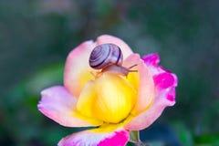 Caracol en la flor color de rosa Imagenes de archivo