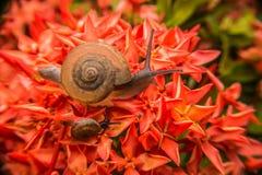 Caracol en la flor roja Fotografía de archivo