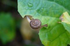 Caracol en la hoja vegetal Imagen de archivo libre de regalías