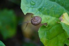 Caracol en la hoja vegetal Imagen de archivo