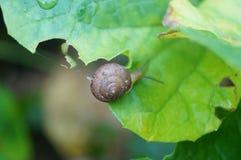 Caracol en la hoja vegetal Foto de archivo libre de regalías