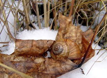 Caracol en la nieve Imagenes de archivo