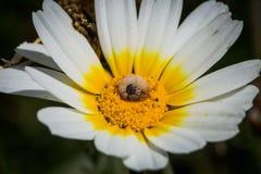 Caracol en una flor blanca, tiempo de primavera imágenes de archivo libres de regalías