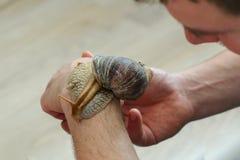 Caracol gigante que se arrastra en la mano de un adulto pet imagenes de archivo