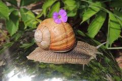 Caracol grande com a flor azul no jardim em um fundo brilhante do close up Foto de Stock Royalty Free