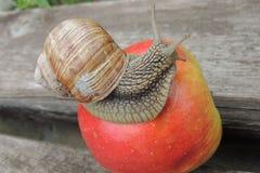 Caracol grande en una manzana roja en el cierre del jardín para arriba Imagen de archivo libre de regalías