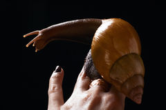 Caracol a mano. Fulica de Achatina Foto de archivo libre de regalías