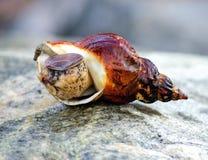 Caracol marinho que encontra-se em uma rocha Fotografia de Stock Royalty Free