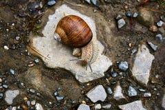 Caracol marrón grande que se arrastra en la piedra Foto de archivo libre de regalías
