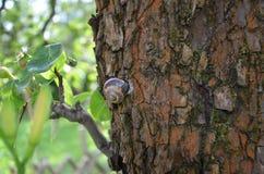 Caracol na árvore de pera Fotografia de Stock Royalty Free