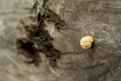 Caracol na madeira Imagens de Stock