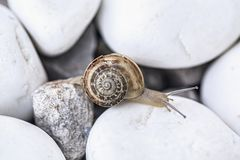 Caracol nas pedras brancas Foto de Stock Royalty Free