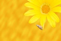 Caracol novo em uma margarida, papel de parede Foto de Stock