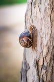 Caracol ou escargot de Burgundi imagem de stock royalty free