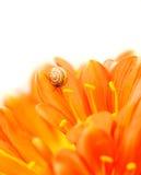 Caracol pequeno na flor do açafrão Fotos de Stock Royalty Free