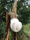 Caracol que cuelga hacia fuera en la rama muerta Tejas del oeste Imagen de archivo libre de regalías