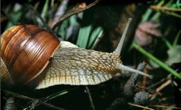 Caracol que rasteja em um ramo, close-up Imagens de Stock