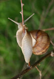 Caracol que rasteja em um ramo, close-up Fotografia de Stock Royalty Free