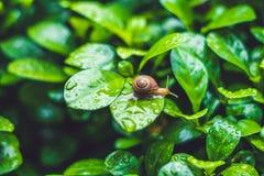 Caracol que rasteja em uma folha com gotas da água após a chuva Foto de Stock Royalty Free