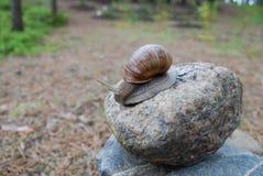 Caracol que rasteja na pedra foto de stock