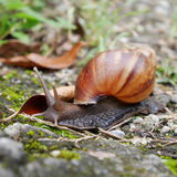 Caracol que rasteja na terra Fotografia de Stock