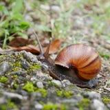 Caracol que rasteja na terra Imagem de Stock Royalty Free