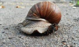 Caracol que rasteja na terra Escargot bonito imagens de stock