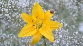 Caracol que rasteja no lírios amarelos de florescência vídeos de arquivo