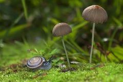 Caracol que rasteja perto dos cogumelos perto acima Imagens de Stock Royalty Free