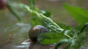Caracol que se arrastra en la planta con lluvia y fondo verde metrajes