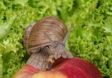 Caracol que se arrastra en manzana Fotos de archivo