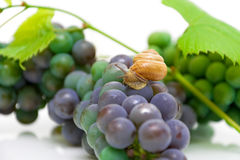 Caracol que senta-se no close-up das uvas Fotografia de Stock Royalty Free