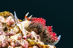 Caracol rojo del nudibranch subacuático Imagen de archivo libre de regalías