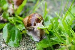 Caracol romano do caracol comestível, caracol de Borgonha, escargot na grama imagens de stock