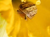 Caracol Squint Imagem de Stock Royalty Free