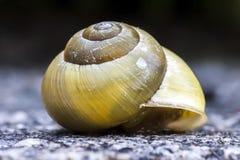 Caracol vazio amarelo Shell Foto de Stock